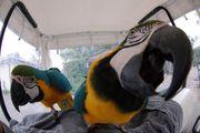 Blaue und goldene Ara-Ara-Papageien