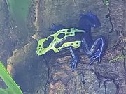 Dendrobates tinctorius green sipalawini