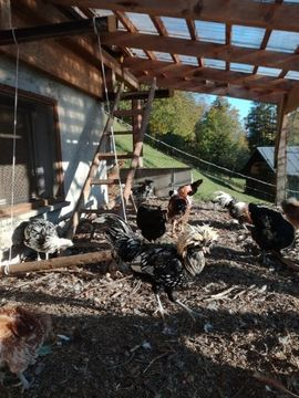 Reinrassiger Paduaner Hahn sucht Hühnerschar
