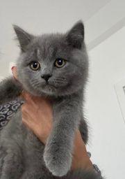 BKH Kitten Kätzchen in Farbe