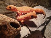 Leopardengecko Mandarine Tangerine 1 2