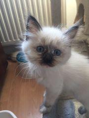 Birma Kitten zu Verkaufen