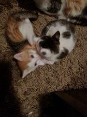 ein Perser mix kitten