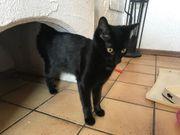 Schwarze Katze 11 Monate alt