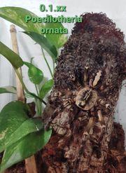Verschiedene Vogelspinnen Caribena versicolor Poecilotheria