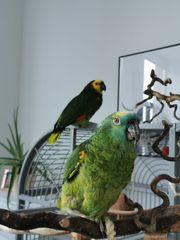 Blaustirnamazonen Paar sucht neues Zuhause -