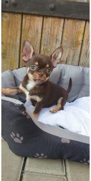 Wunderschöne Chihuahua Welpen suchen Zuhause