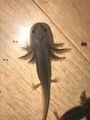 Axolotlbabys bald abzugeben
