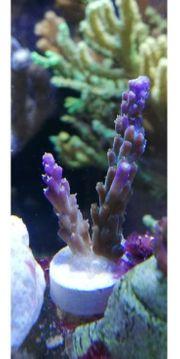Meerwasser Acropora lila SPS Steinkoralle