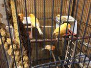 Junge Kanarien orange Gelbe Rötliche