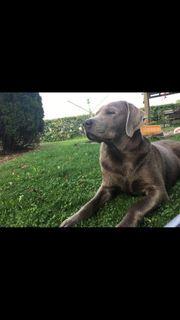 Labrador Welpen Silber und schwarz