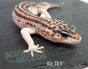 Leopardgeckos Total Eclipse