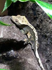 Kronengecko Männchen Tricolore Pinstripe
