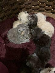 nur noch ein Perser kitten