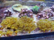 Meerwasser Krustenanemonen Stein 20-25Polypen