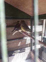 kanarienvogel gloster
