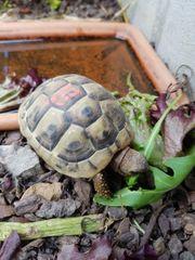 Süsse griechische Landschildkröten von 2017