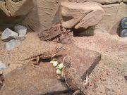 3 zwergbartagamen inklusive terrarium