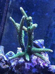 Meerwasser Versand Korallen Ableger Acropora