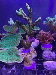 Meerwasser Korallen Montipora Forestfire