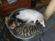 2 Kätzchen weibchen 11 wochen