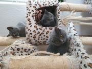 Liebevolle bkh blh kitten suchen