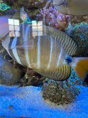 Zebrasoma Veliferum Doktorfisch