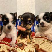Supersüße reinrassige Chihuahuawelpen