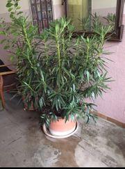 Oleander Pflanze