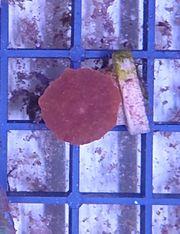 Discosoma sp rot Meerwasser Korallen