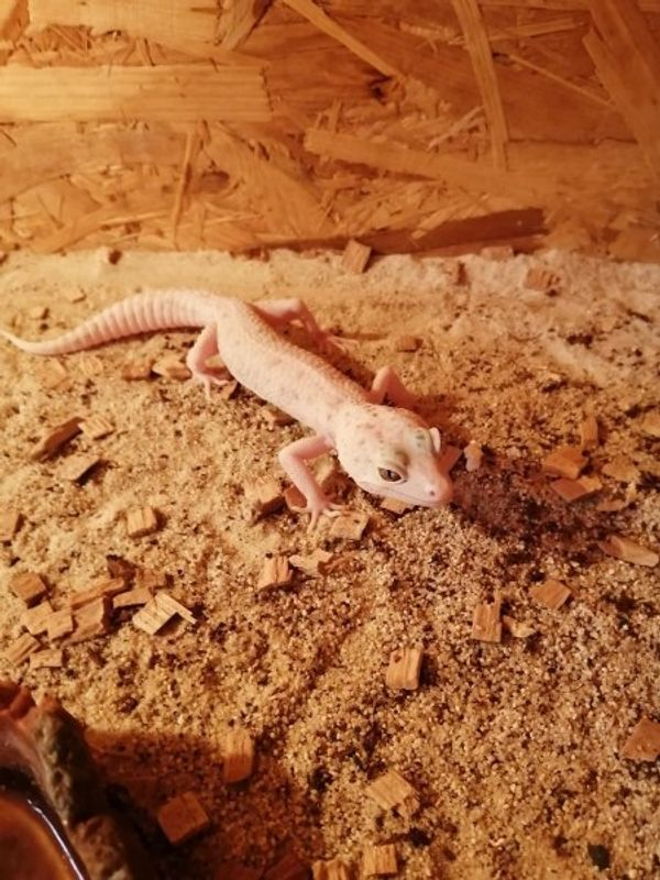 Leopardgeckos 1 Bock 3 Mädchen