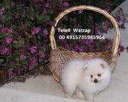 Gesunde registrierte Pomeranian Welpen verfügbar