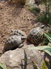 4 Maurische Landschildkröten zu verkaufen