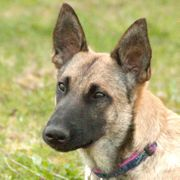 Ella 1 Jahr 2 Monate - Malinois-Mix