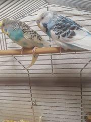 perfektes wellensittich zuchtpaar