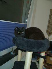 Nachtschwarze BKH Katze