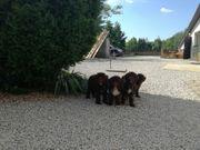 portugiesische Wasserhundewelpen abzugeben Sachsen Anhalt