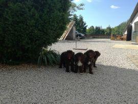 portugiesische Wasserhundewelpen abzugeben! (Sachsen Anhalt)!