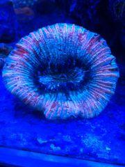 Korallen euphyllia Chalice Trachyphyllia Meerwasser
