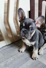 Französische Bulldogge Mädchen mit Ahnentafel