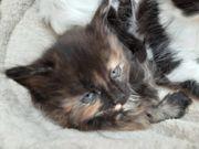 Allerliebste Maine coon Kitten reinrassig