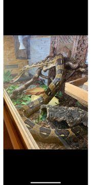 Boa Constrictor mit Terrarium 150x60x60