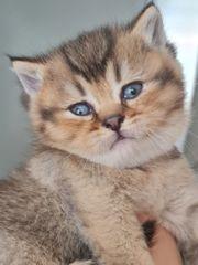 wünderschöne BKH Golden Kitten
