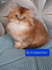 BKH und BLH Kitten