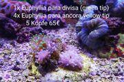 Korallen Ableger Steinkorallen