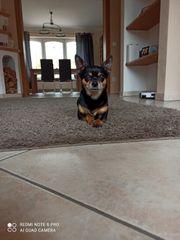 Chihuahua Rüde 6 Jahre