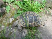 Griechische Landschildkröte Weibchen geb 1981