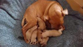 Zwergpinscher Reinrassig: Kleinanzeigen aus Zabenstedt - Rubrik Hunde