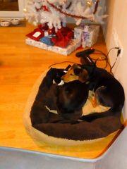 Boston Terrier und Beagle Mix