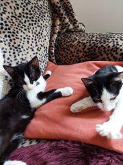 Zwei golgige Kätzchen suchen ein